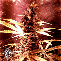 Holy Smoke Seeds Pink Cadillac Feminized