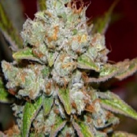 Rare Dankness Seeds Star Killer Regular