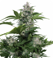 Buddha Seeds White Dwarf Regular