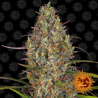 Barney's Farm Seeds Glue Gelato Auto Feminized