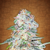 FastBuds Seeds Blue Dream'matic Auto Feminized (PICK N MIX)
