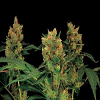 Dinafem Seeds Blue Hash Feminized (PICK N MIX)
