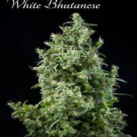 Mandala Seeds White Bhutanese Feminized