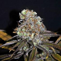 CBD Crew Seeds Critical Mass Feminized