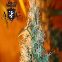 AlphaKronik Genes Seeds Nevada Privada Regular