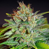 World of Seeds Legends Collection Skunk 47 Feminized