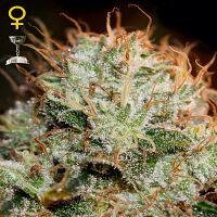 Green House Seeds Kaia Kush Feminized