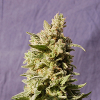 Kannabia Seeds Mataro Blue Feminized