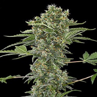 Dinafem Seeds Moby Dick Auto Feminized