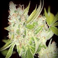 SinCity Seeds Sour Cherry Kush Regular