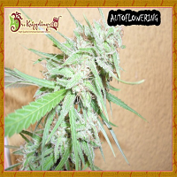 Dr Krippling Seeds Spinning Buzz Kick Auto Feminized
