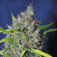 Sagarmatha Seeds Blueberry Bud Feminized