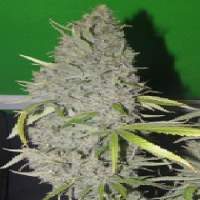 Connoisseur Genetics Seeds Strawberry Sour Haze Feminised