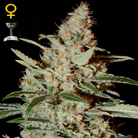 Green House Seeds Chemdog Feminised