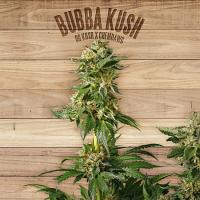 The Plant Organic Seeds Bubba Kush Feminized