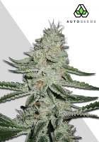 Auto Seeds Dreamberry Auto Feminized