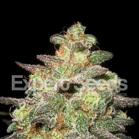 Expert Seeds Caramella Auto Feminized (PICK N MIX)