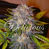 Delicious Seeds Caramelo Feminized