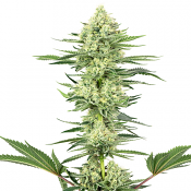 White Gorilla Haze - Feminized - White Label Seeds (American Line)