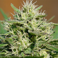 Spliff Seeds Medical Kush Automatic Feminized
