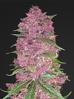 Purple Lemonade Auto - Feminized - FastBuds (PICK N MIX)