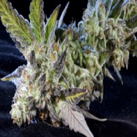 Elemental Seeds Berry Bomb Feminized