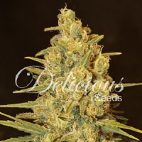 Delicious Seeds Critical Sensi Star Feminized