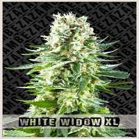 Zambeza Seeds White Widow XL Feminized