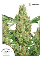 Dutch Passion Seeds Power Plant Feminized