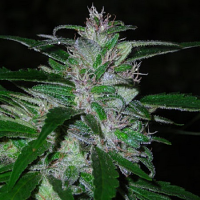 Shortstuff Seeds Super Cali Haze Auto Feminised