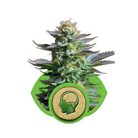 Royal Queen Seeds Amnesia Haze Automatic Feminized  (PICK N MIX)