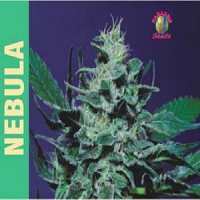 Paradise Seeds Nebula Feminized