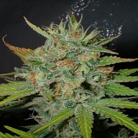Homegrown Fantaseeds Afghani Feminized