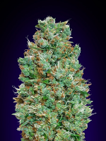 OO Seeds Auto Blueberry Feminized