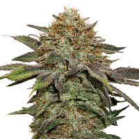 Seed Stockers Seeds Fruit Cake Auto Feminized