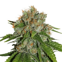 Seed Stockers Seeds Amnesia Auto Feminized