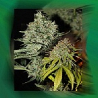 Connoisseur Genetics Seeds Labrador Regular