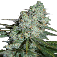 Seedmakers Seeds Wonder Skunk Feminized