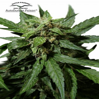 Dutch Passion Seeds AutoDurban Poison Feminized