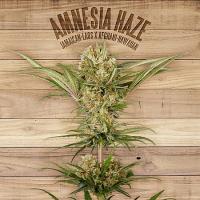 The Plant Organic Seeds Amnesia Haze Feminized