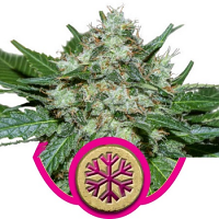 ICE – Feminized – Royal Queen Seeds