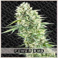 Zambeza Seeds Power Bud Feminized