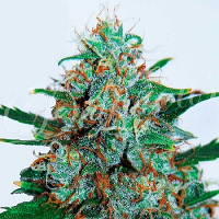Delicious Seeds Critical Neville Haze Auto Feminized