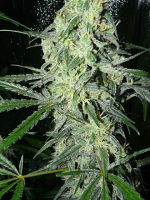 Female Seeds SexBud Feminized