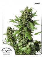 Dutch Passion Seeds Auto Duck Feminized
