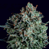 SuperCBDx Seeds Blue Cheese x SCBDx Feminized