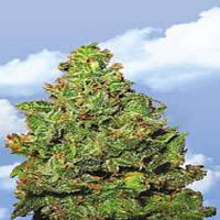 Flying Dutchmen Seeds Edelweiss Feminized