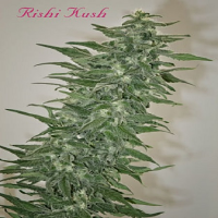 Mandala Seeds Rishi Kush Regular