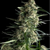 Pyramid Seeds Galaxy Feminized