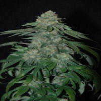 Reserva Privada Seeds OG Kush Feminized